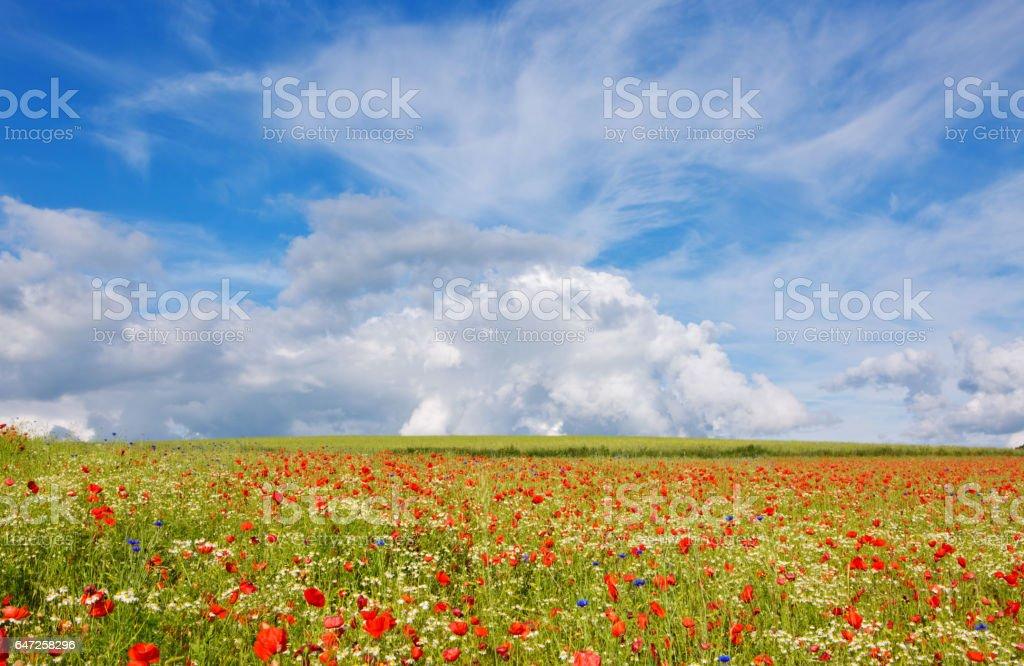 Beautiful poppy field and blue sky stock photo