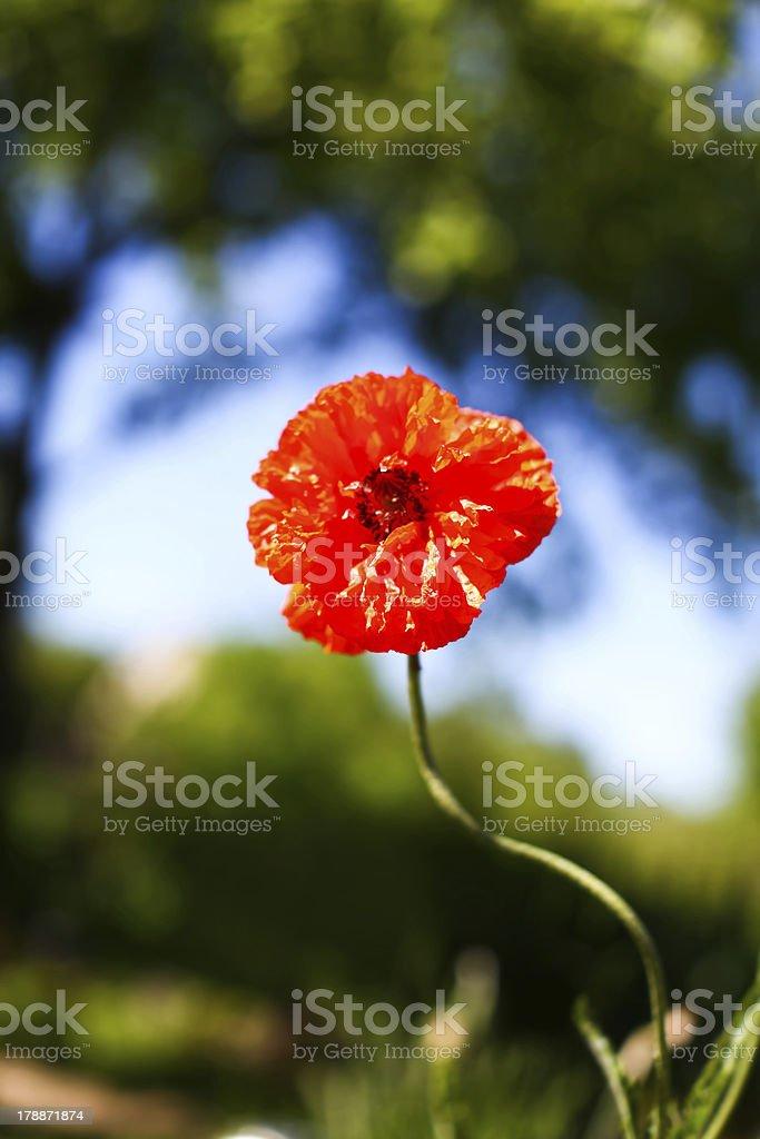 Beautiful poppy flower stock photo