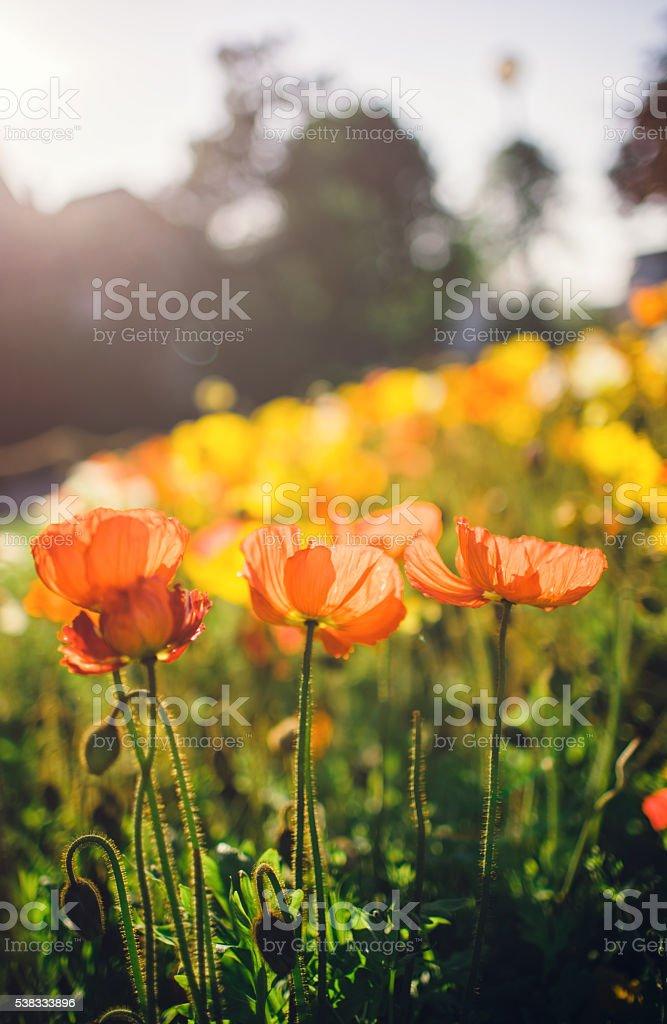 Beautiful poppy flowers stock photo