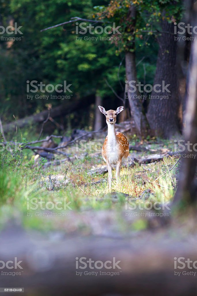Beautiful portrait of a deer in the woods stock photo