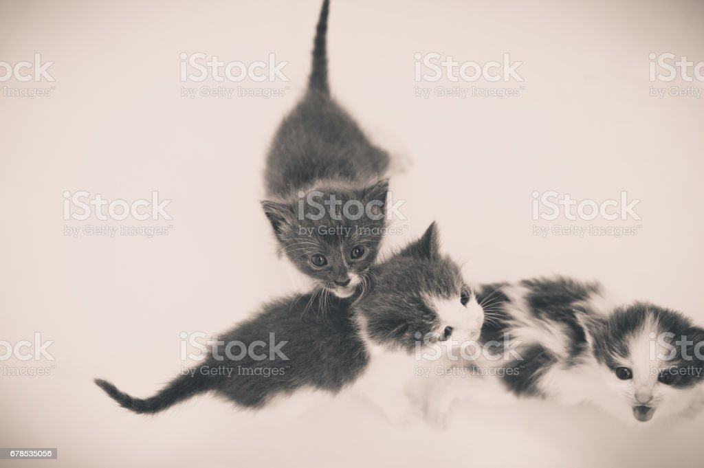 beautiful portrait of an adult cat and a kitten looking deep int stock photo