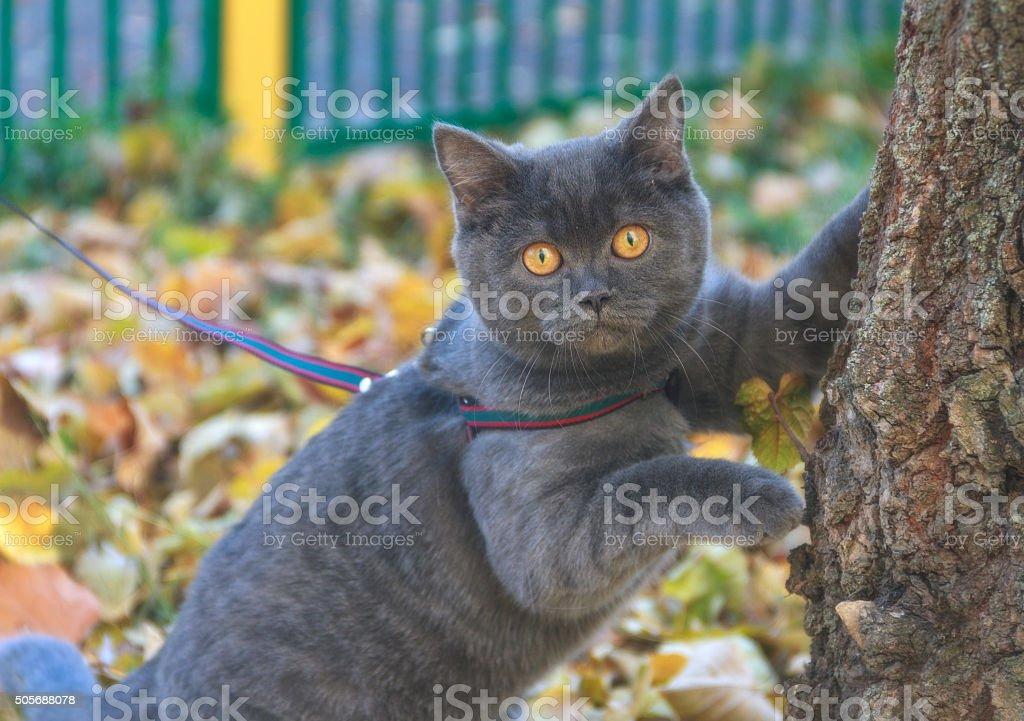 Beautiful portrait of gray scottish cat on a leash walk. stock photo
