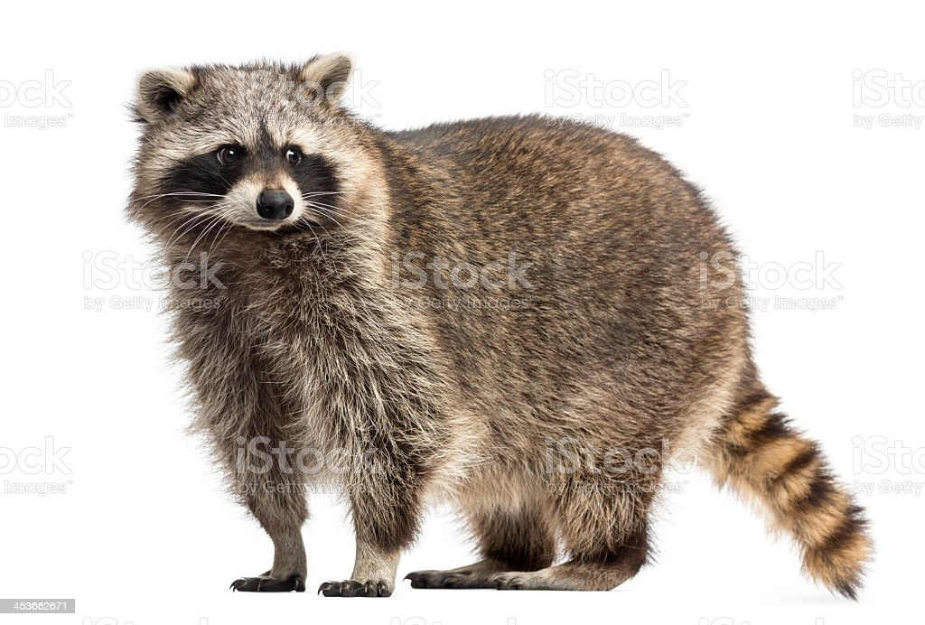 Beautiful Procyon Lotor, commonly known as raccoon stock photo