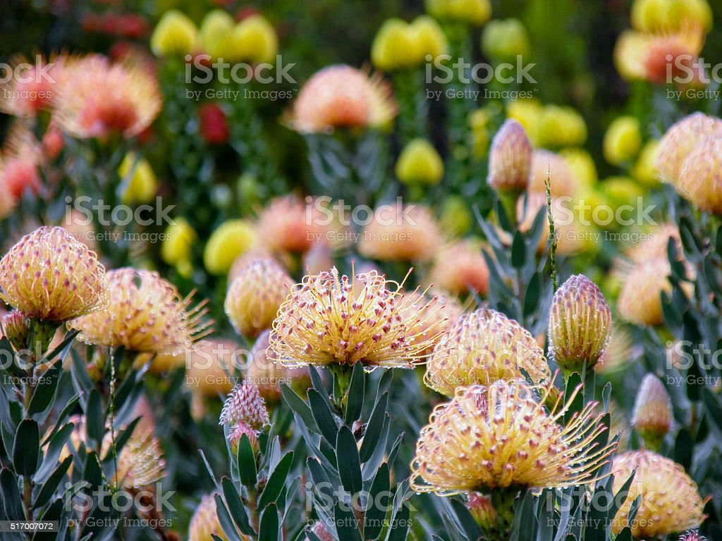 Beautiful Protea flower growing in the wild stock photo