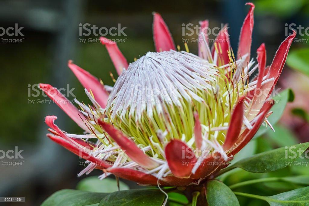 beautiful protea flower stock photo