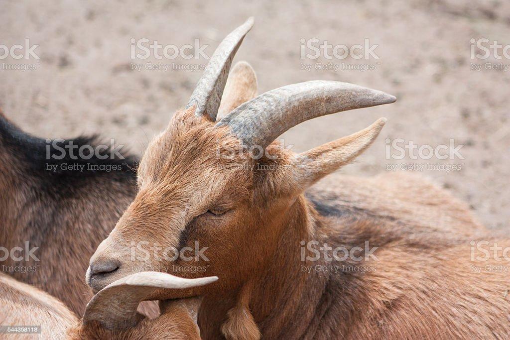 Beautiful proud goat stock photo
