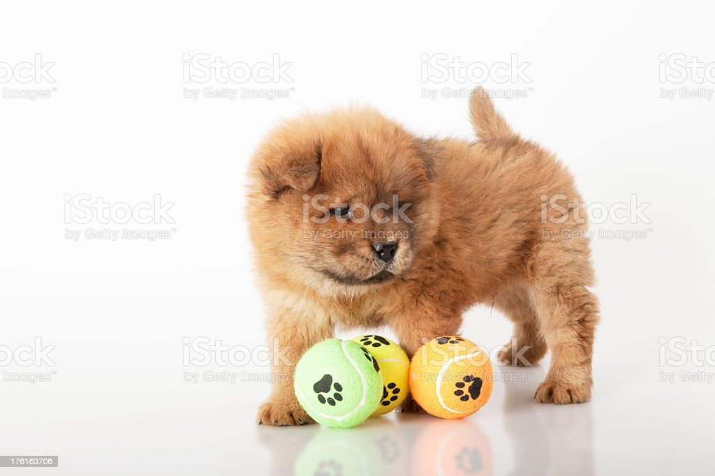 beautiful puppy is playing with ball stock photo