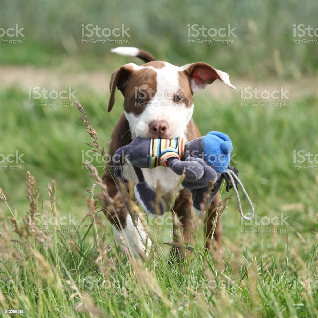 Beautiful puppy of American Pit Bull Terrier stock photo