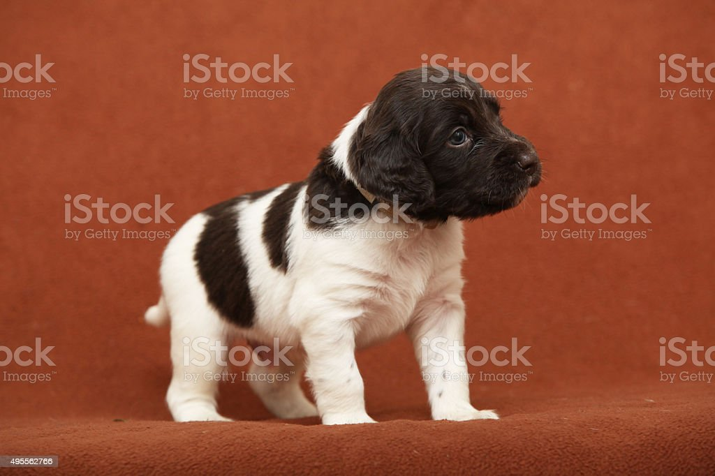 Beautiful puppy of Kleiner Munsterlander Vorstehhund stock photo