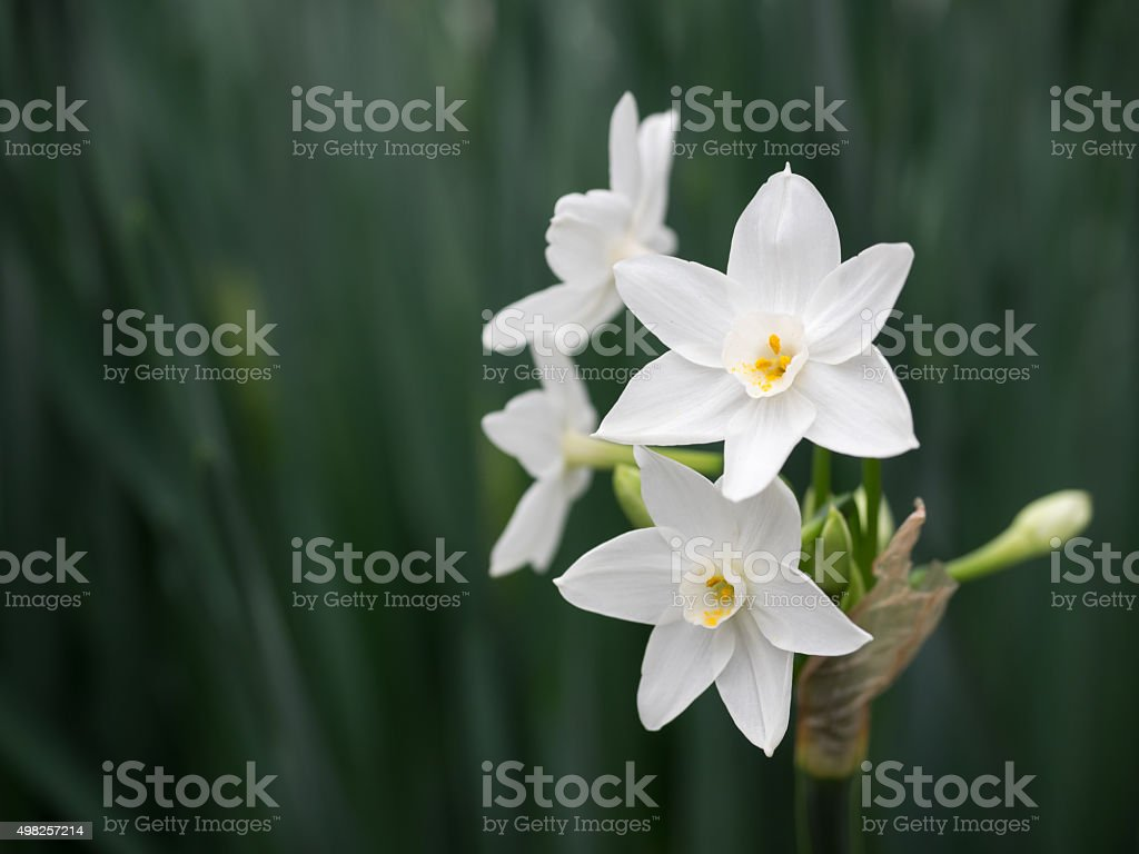 Beautiful pure white narcissus stock photo