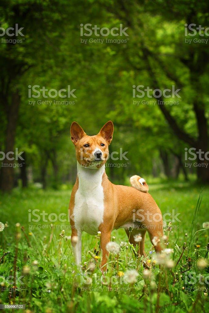beautiful purebred Basenji dog stock photo