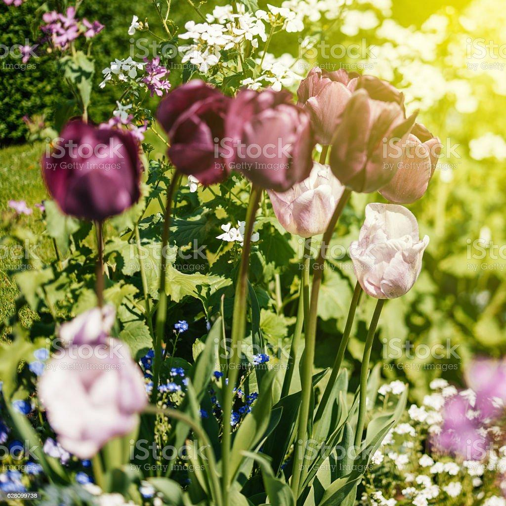 Beautiful purple and pink tulips in garden tilt-shift stock photo