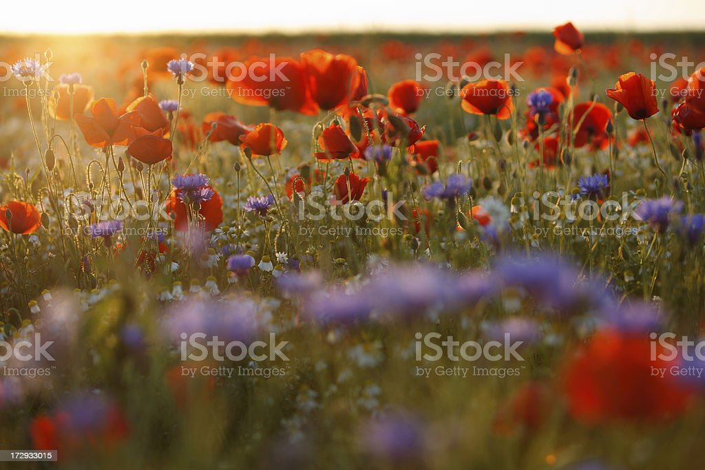 Beautiful purple and red poppy field in hazy sunlight stock photo