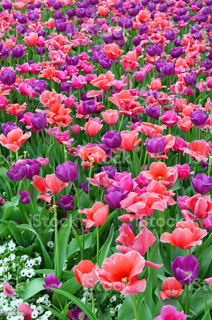 Beautiful Purple and Red Spring Garden stock photo