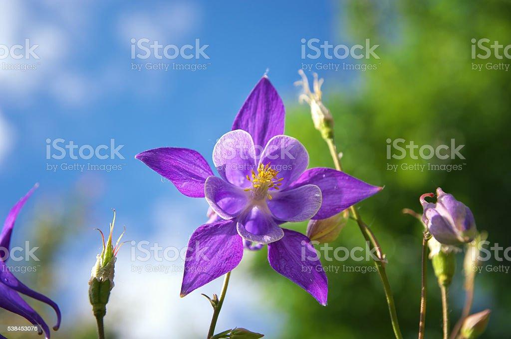 Beautiful purple aquilegia. stock photo