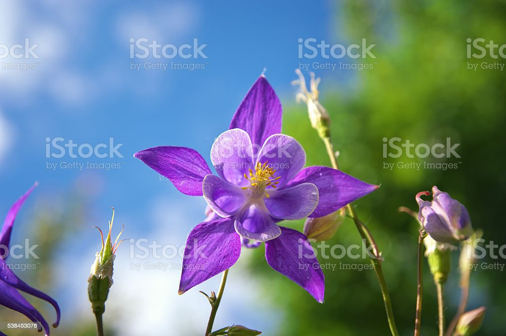Beautiful purple aquilegia. stock photo