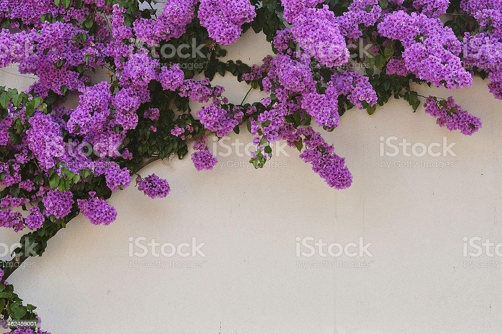 Piękne fioletowy bugenwillami zbiór zdjęć royalty-free