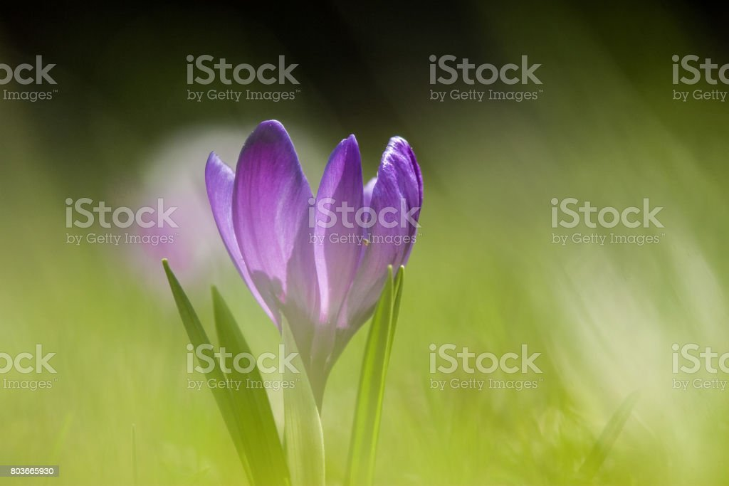 Beautiful purple crocus flowers on a natural background in spring stock photo
