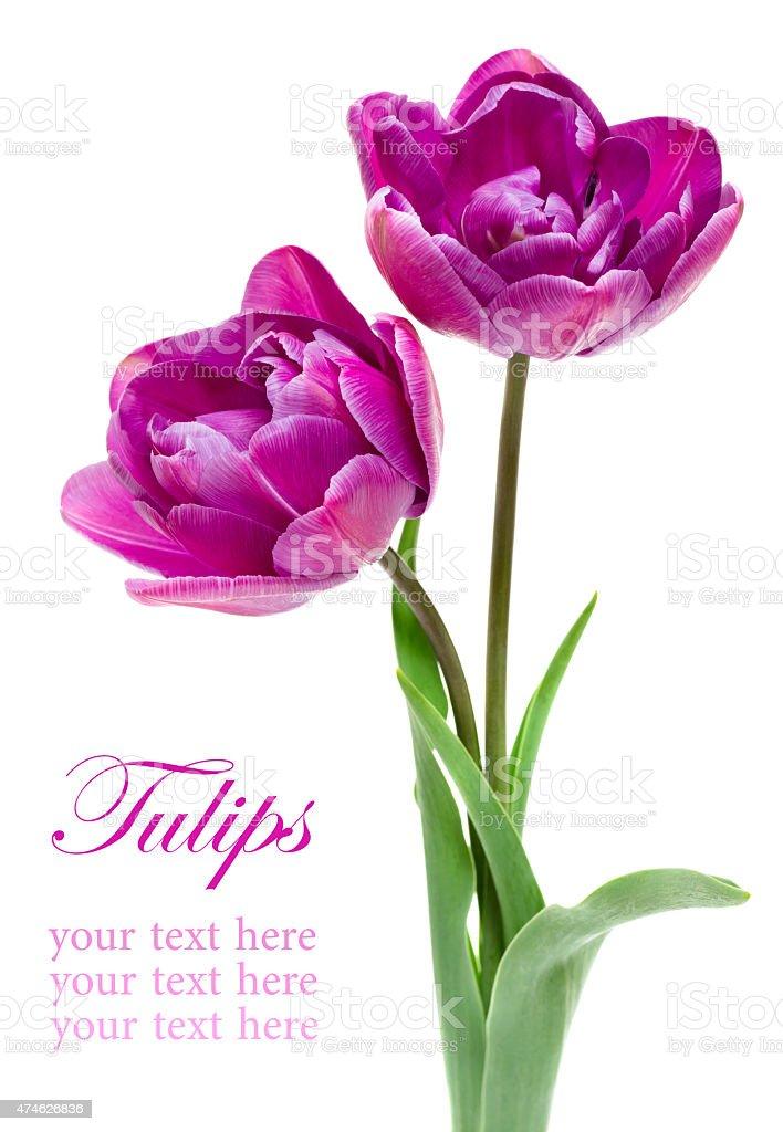 Beautiful purple Double PeonyTulip stock photo