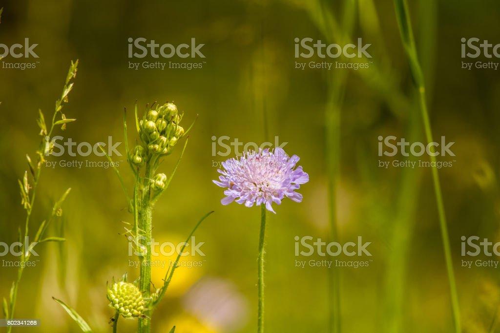 Beautiful purple flower heads blooming in a meadow stock photo