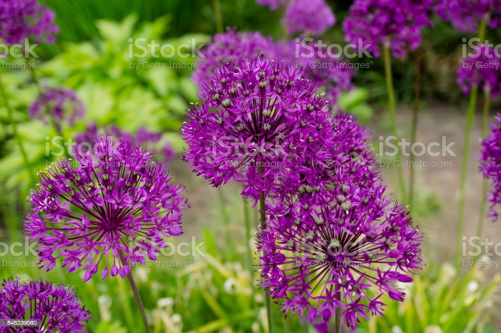 Beautiful purple flower with sharp leaves on a green background stock photo