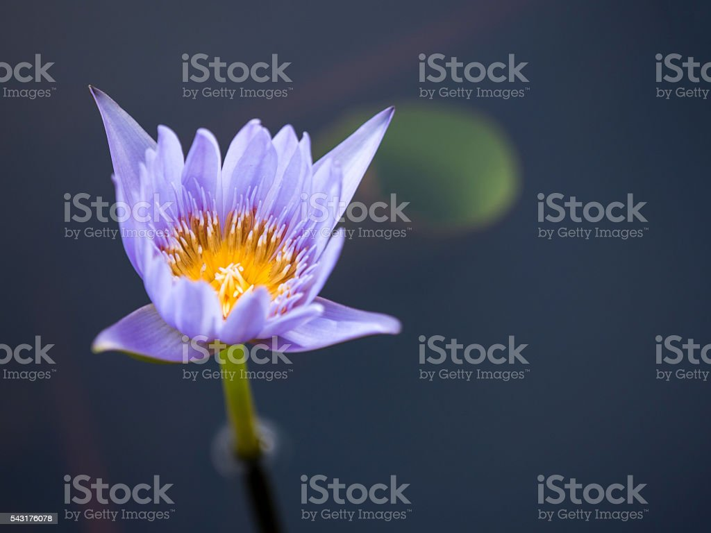 Beautiful Purple Lotus stock photo