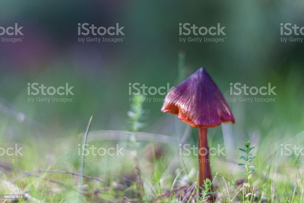 Beautiful purple mushroom growing in the forest floor stock photo