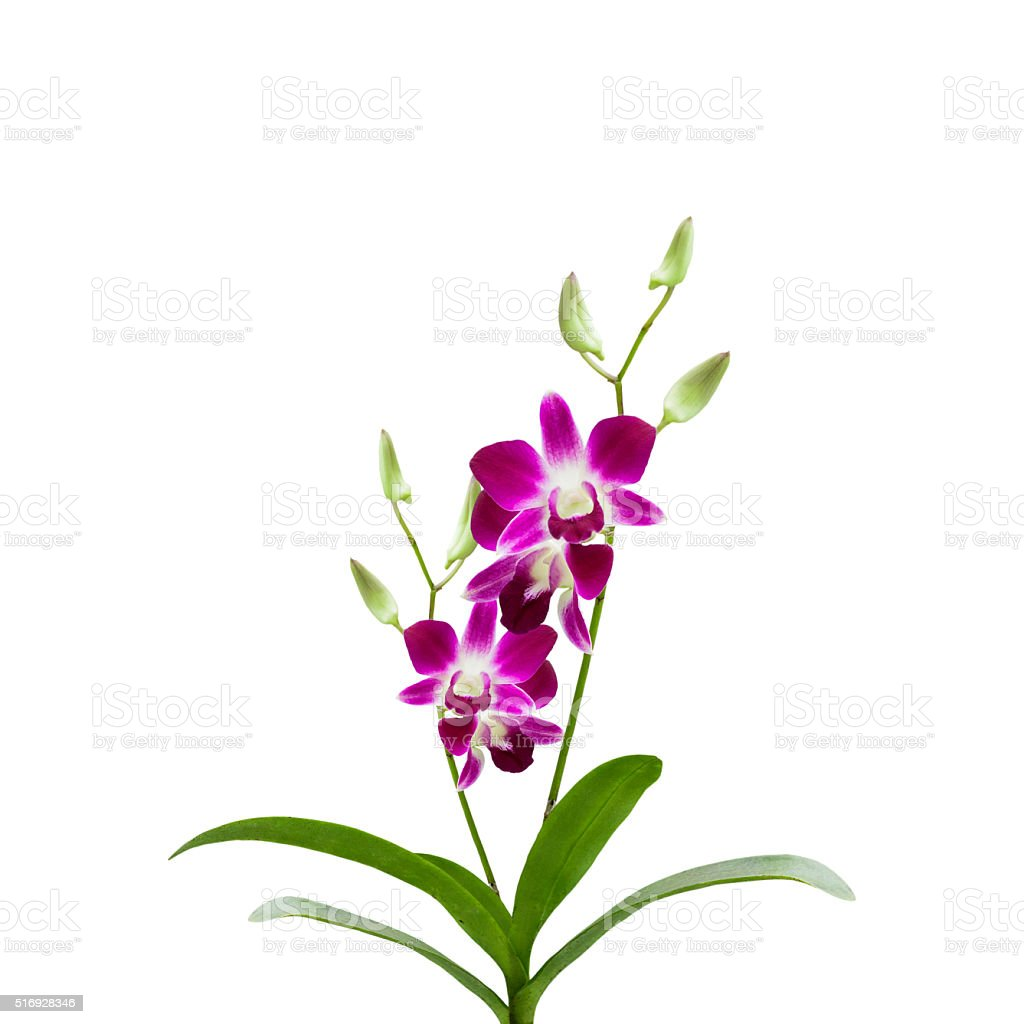 Beautiful Purple orchid flower on white background, stock photo