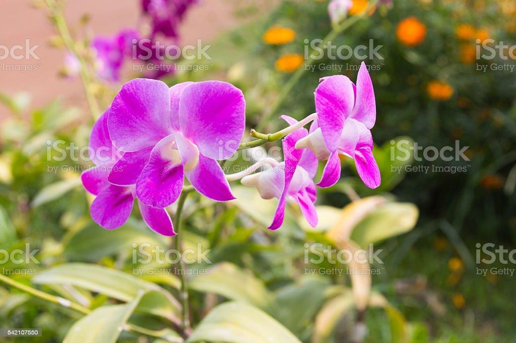 Beautiful purple orchid flower stock photo