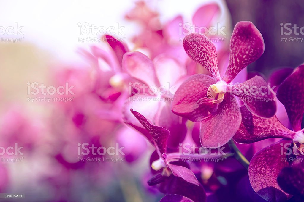 Beautiful Purple orchid flower tree. stock photo