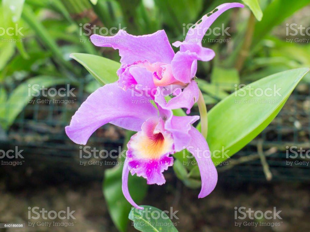 Beautiful purple orchid in Bali, Indonesia. stock photo