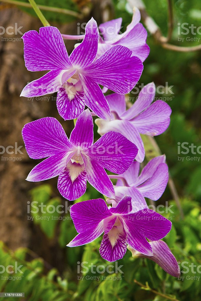 Beautiful purple orchid royalty-free stock photo