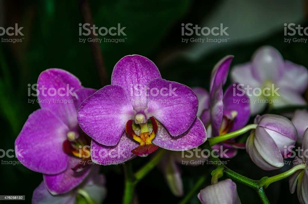 Hermosa orquídea púrpura foto de stock libre de derechos