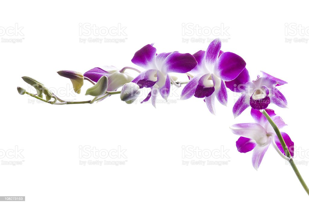 Beautiful Purple Orchids on White Background stock photo