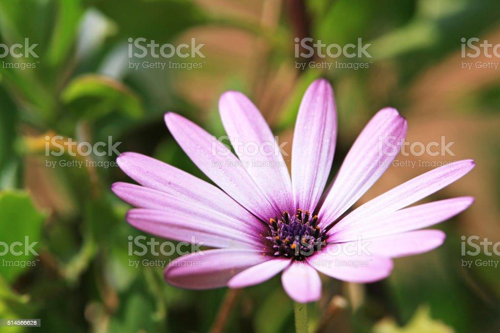 Beautiful Purple Osteospermum flower stock photo