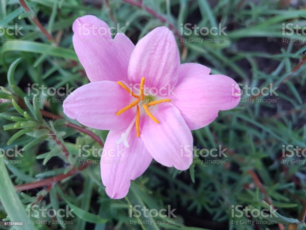 Beautiful purple pink Zephyranthes flower stock photo
