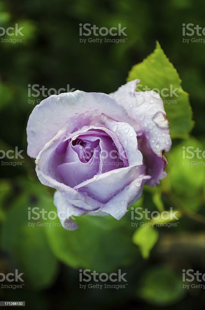 beautiful purple rose in garden stock photo
