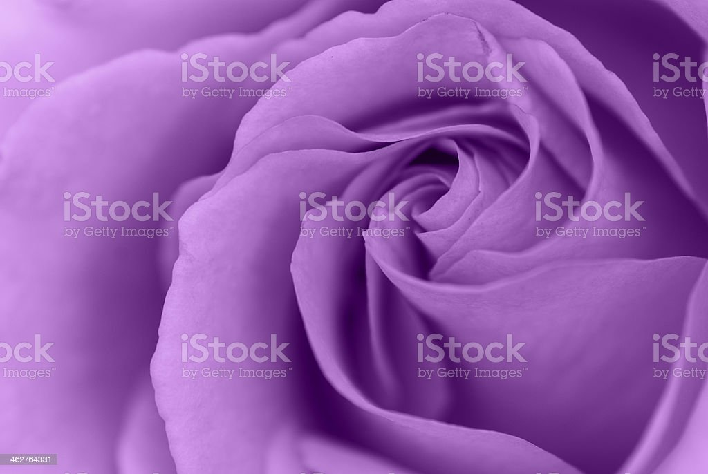 Beautiful purple rose stock photo