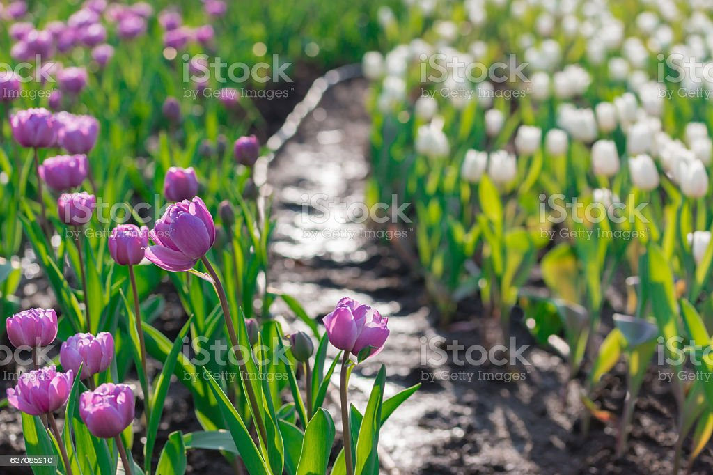 Beautiful purple tulips in flowers garden. stock photo