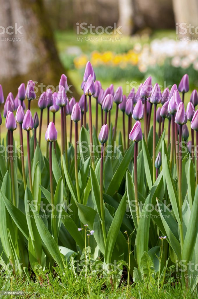 Beautiful purple tulips in the garden. stock photo