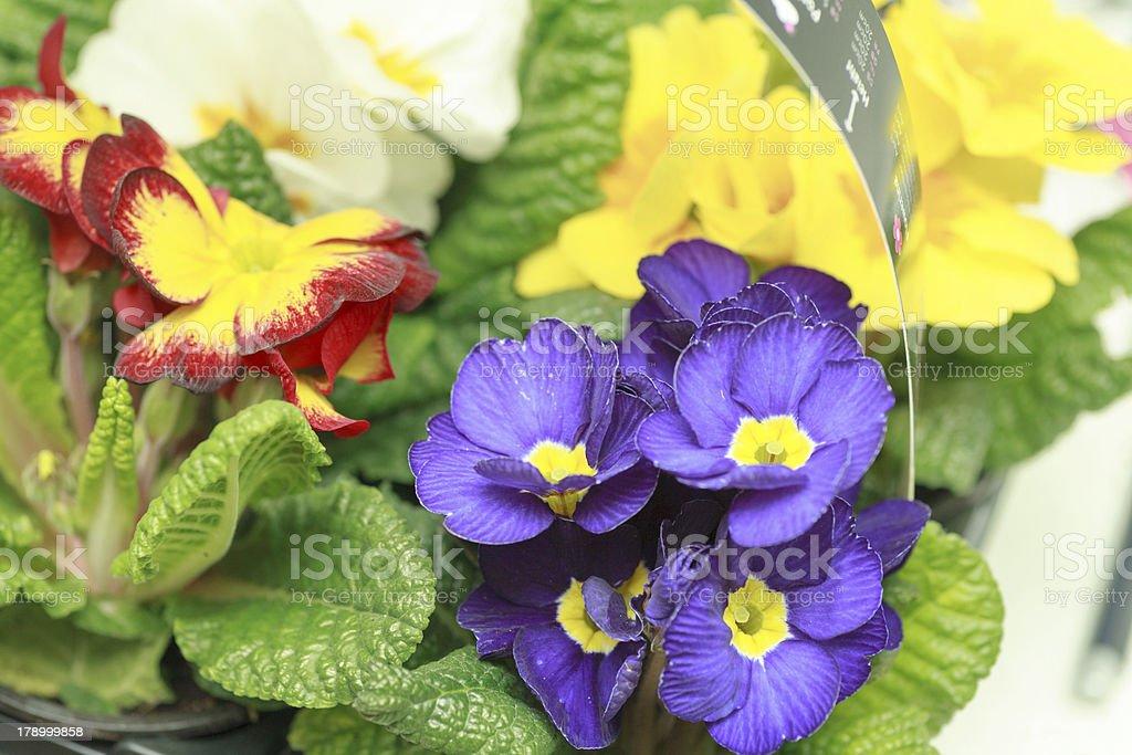 beautiful purple violet flowers royalty-free stock photo