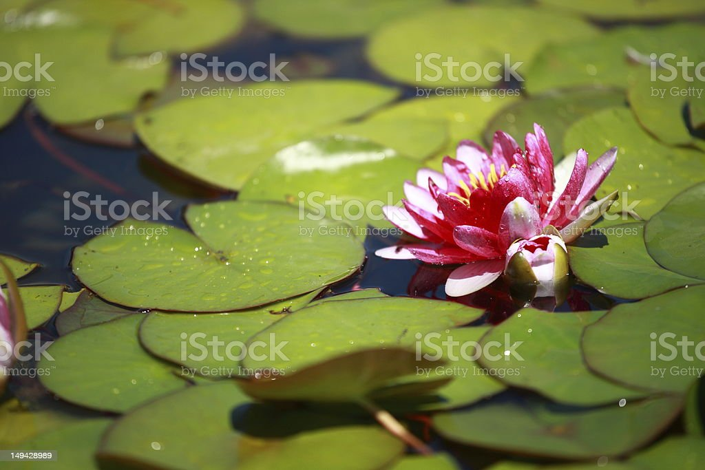 Beautiful Purple Water Lilies Floating on a Lake royalty-free stock photo