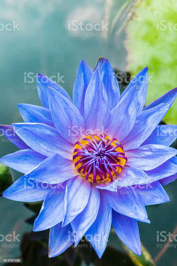 beautiful purple Water lily grows in the pond stock photo