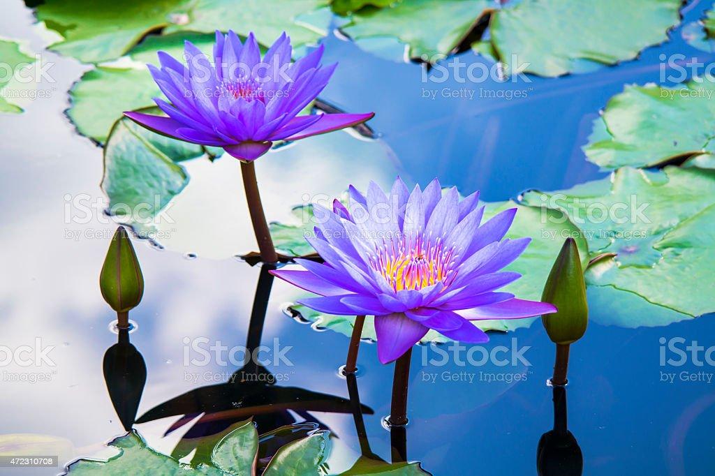 Beautiful purple water lily stock photo