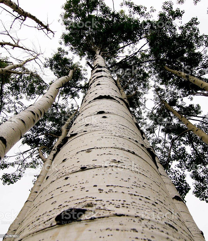 Beautiful Quaking Aspen Tree royalty-free stock photo