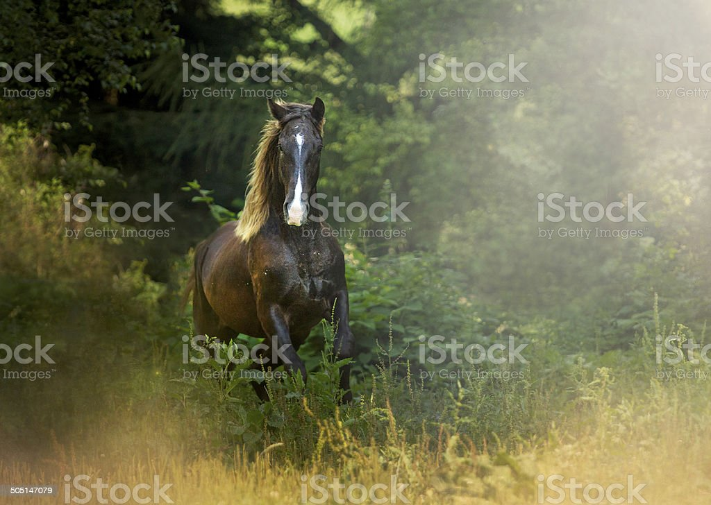 beautiful quarter horse running in nature stock photo