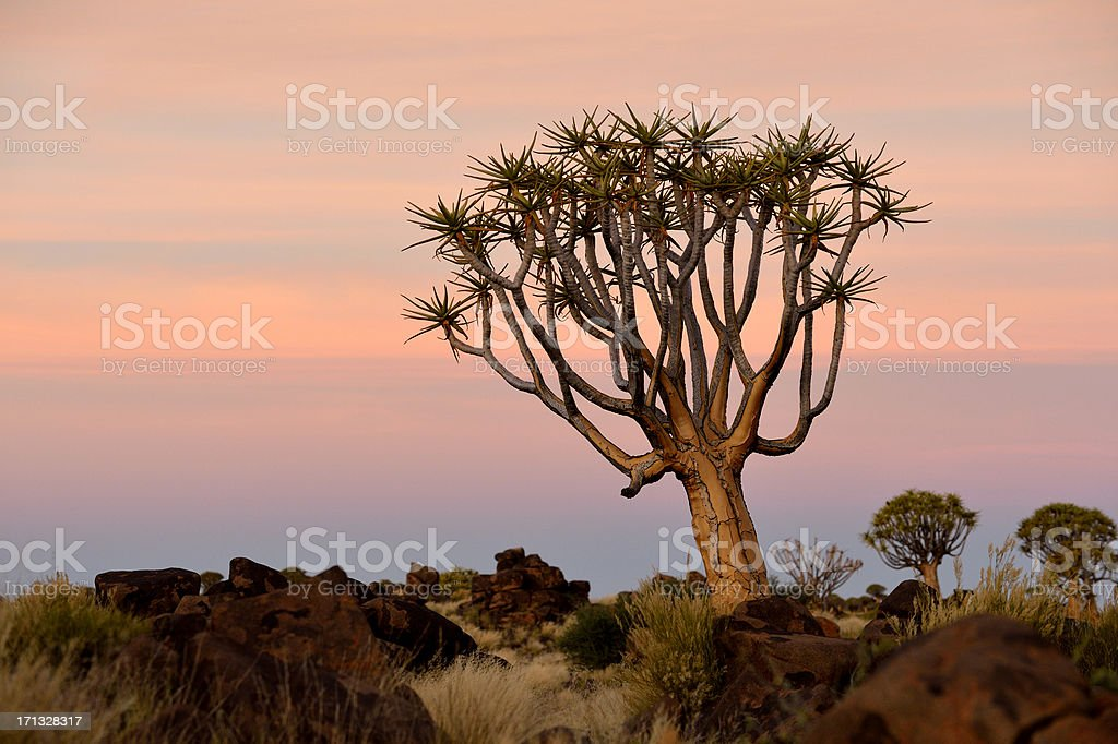 Beautiful Quivertree after sunset stock photo