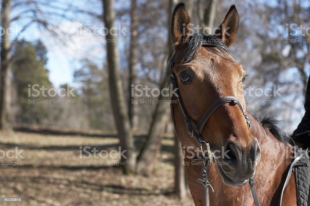 Beautiful race horse royalty-free stock photo