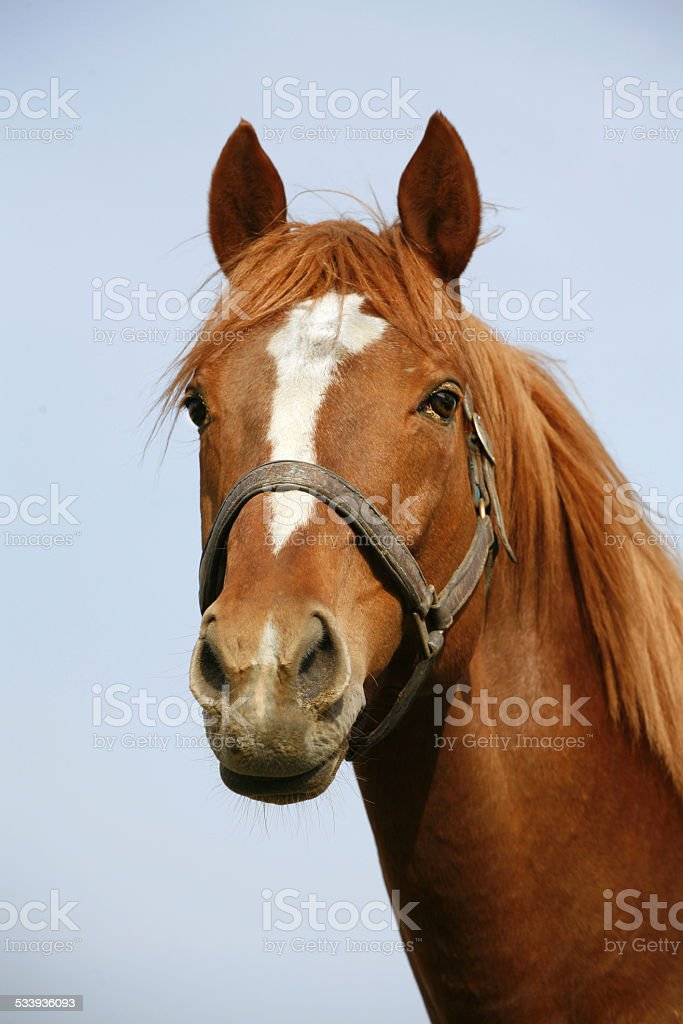 Beautiful racehorse looking over the corral gate summer time stock photo