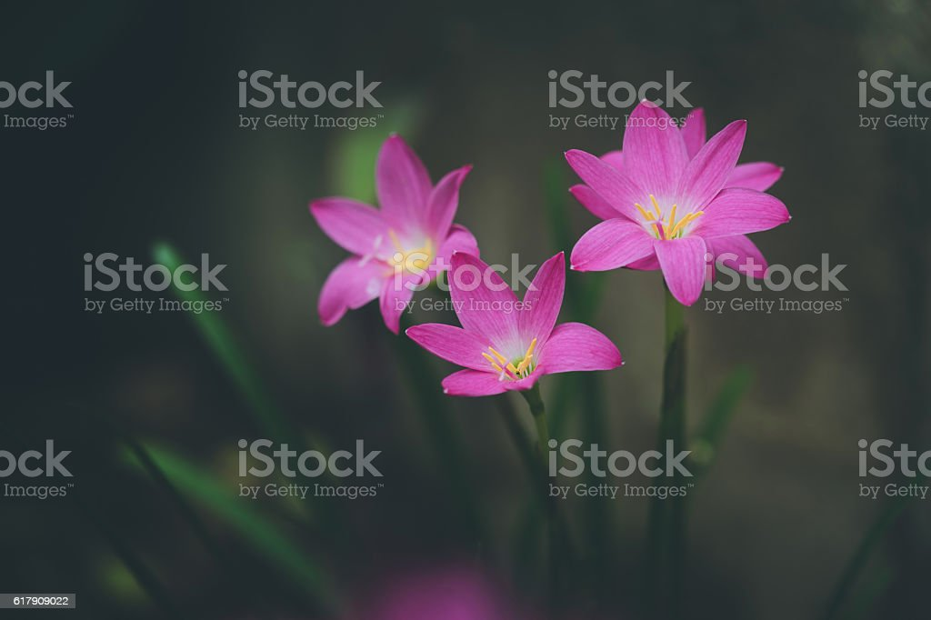 Beautiful rain lily flower. Zephyranthes Lily ,Fairy Lily, Littl stock photo